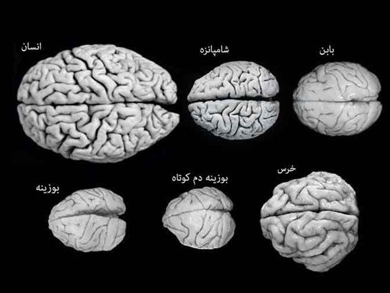 مدل سه قسمتی مغز