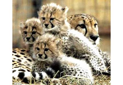 """""""روز حفاظت از یوزپلنگ"""" در راه است!"""