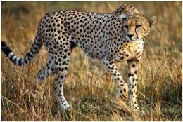 """روز ملی حفاظت از یوزپلنگ ایرانی، به یاد """"ماریتا"""""""
