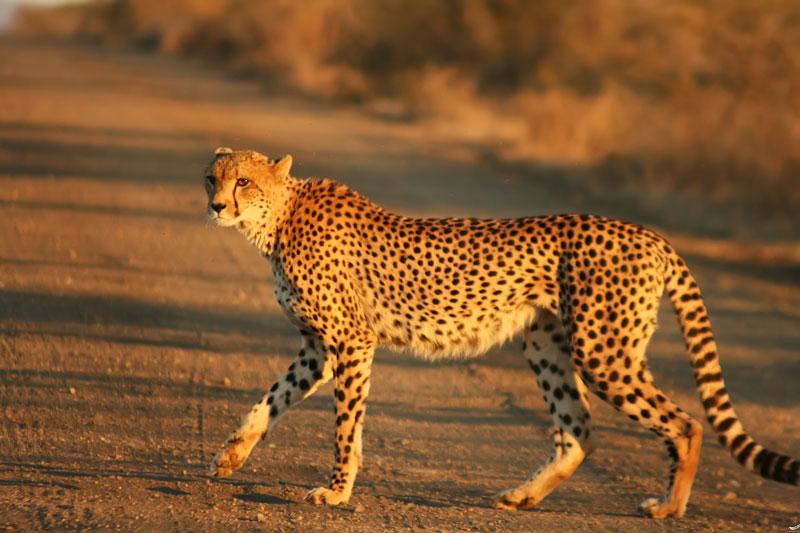 درخواست مردم از دولت برای حفاظت از یوزپلنگ ایرانی