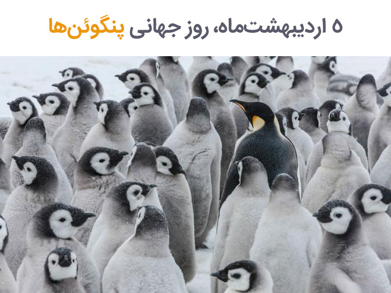 فرصت شناختن بیشتر پنگوئنها در «روز جهانی پنگوئنها»
