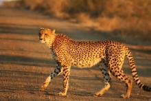 درخواست آحاد مردم از دولت برای حفاظت از یوزپلنگ ایرانی